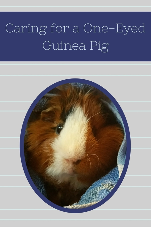 Caring for a One Eyed Guinea Pig