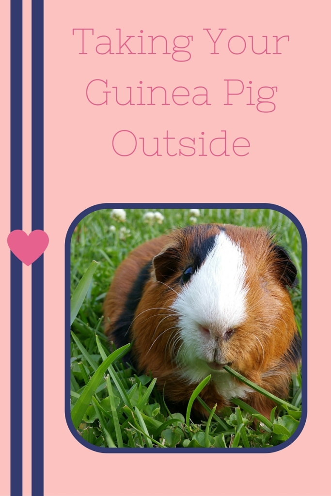 Taking Your Guinea Pig Outside